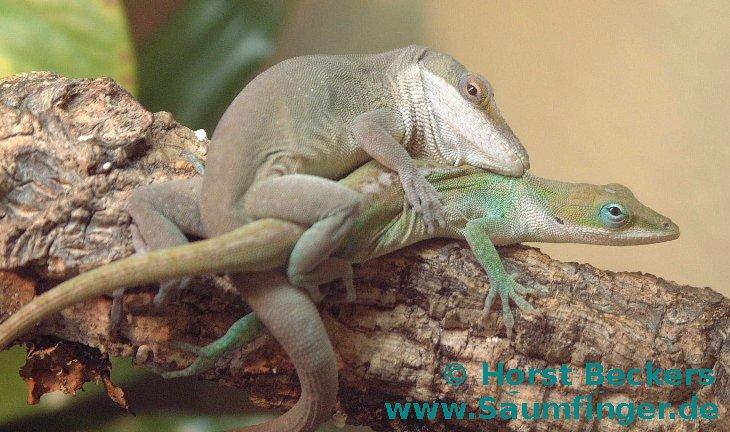 Anolis verde reproduccion asexual