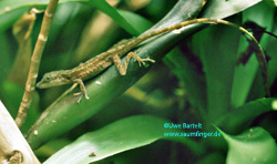 Anolis limifrons